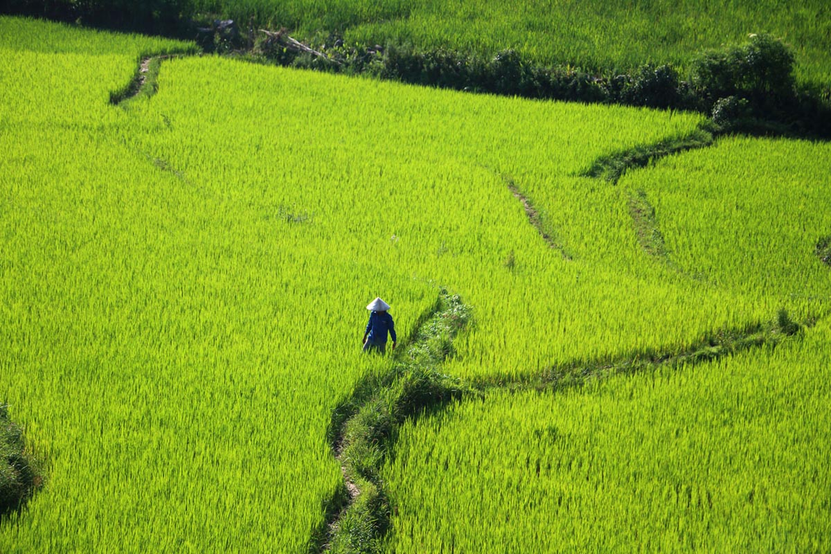 rice-field1