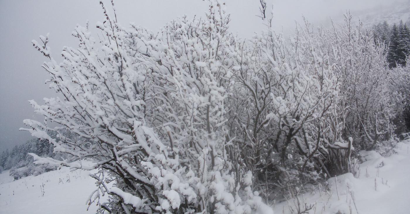 Panoramique arbres enneigés