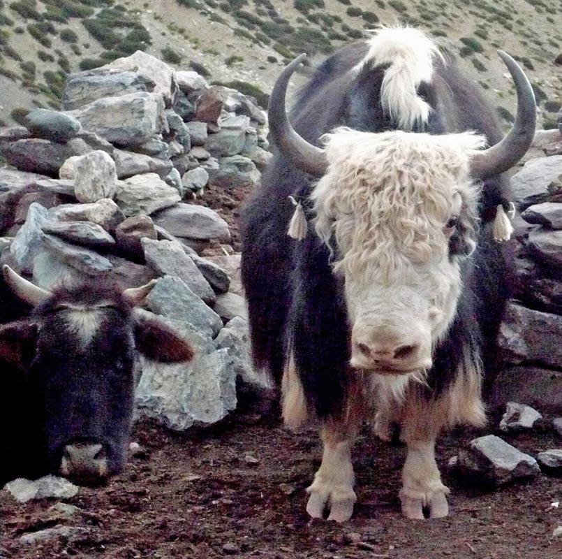 Yack / Randonnée au Ladakh