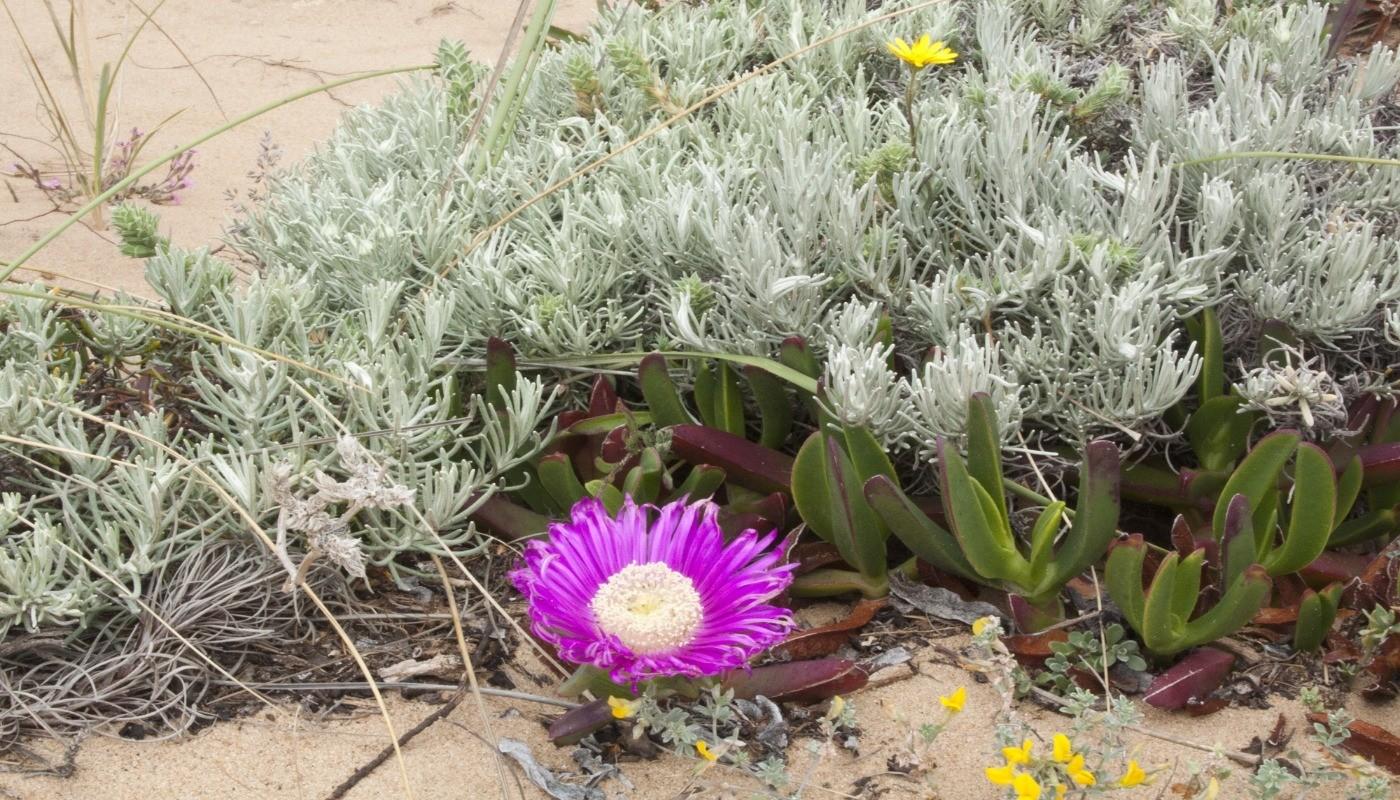 Paysage randonnée littoral Portugal fleurs