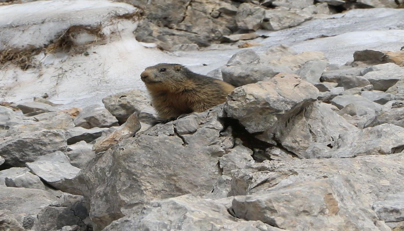 Marmotte randonnée col d'Hurtières