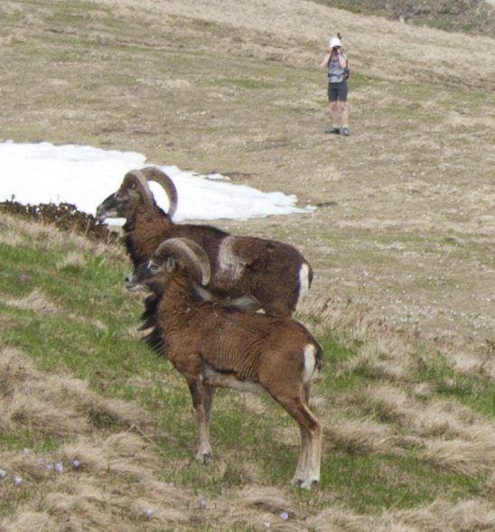 Mouflons randonnée col d'Hurtières